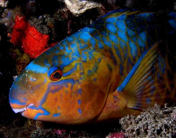 parrot-fish-wikimedia