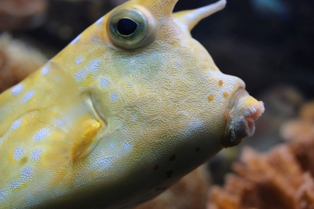 boxfish-face