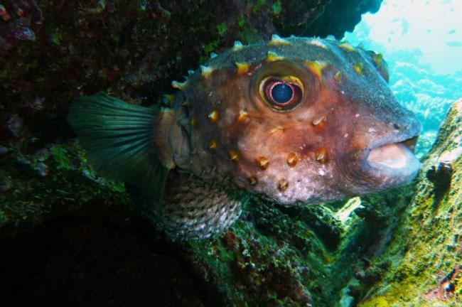 caribbean-snorkeling-ballon-fish