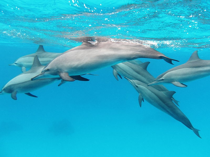 familia-delfines-en-libertad-dolphins-family-in-freedom